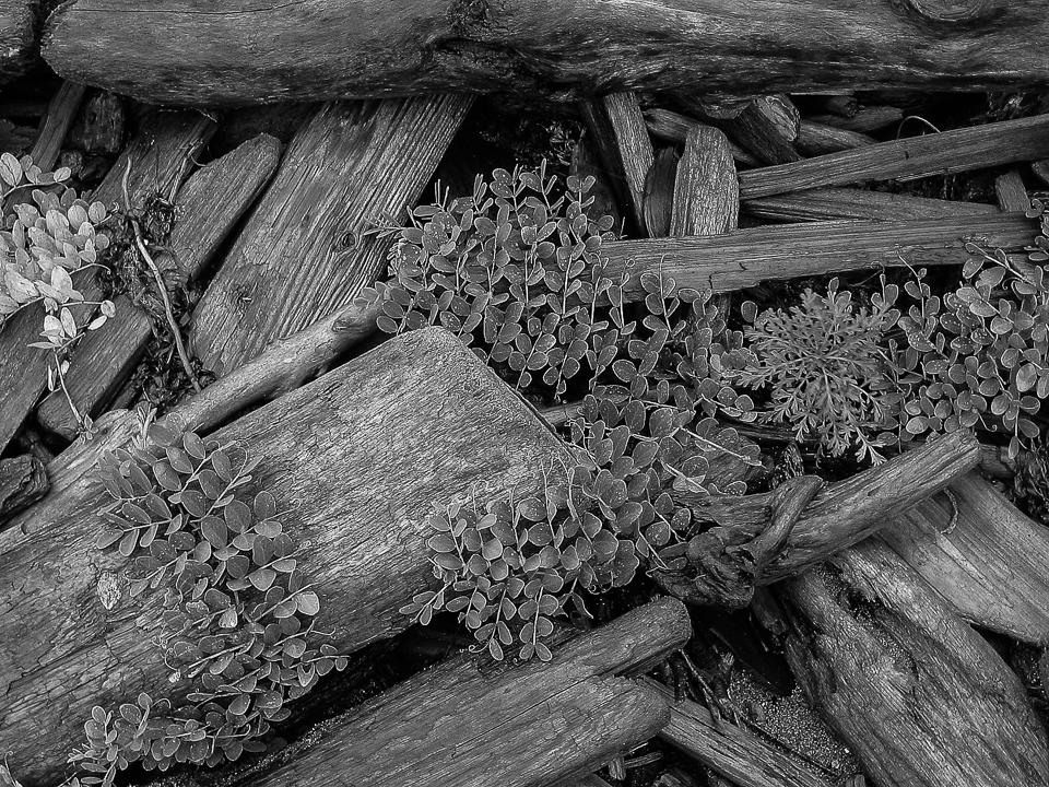 Driftwood, Pt Roberts, WA