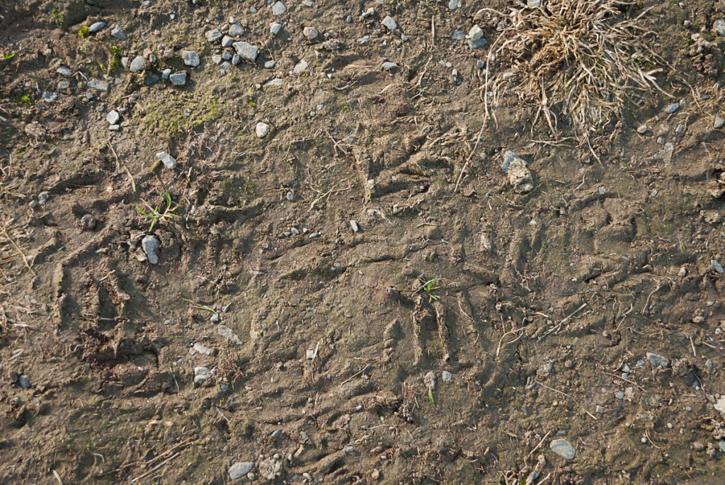Sheep footprints