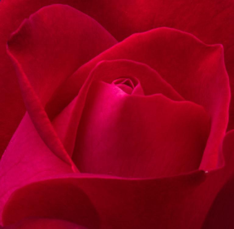 Rose (1161)