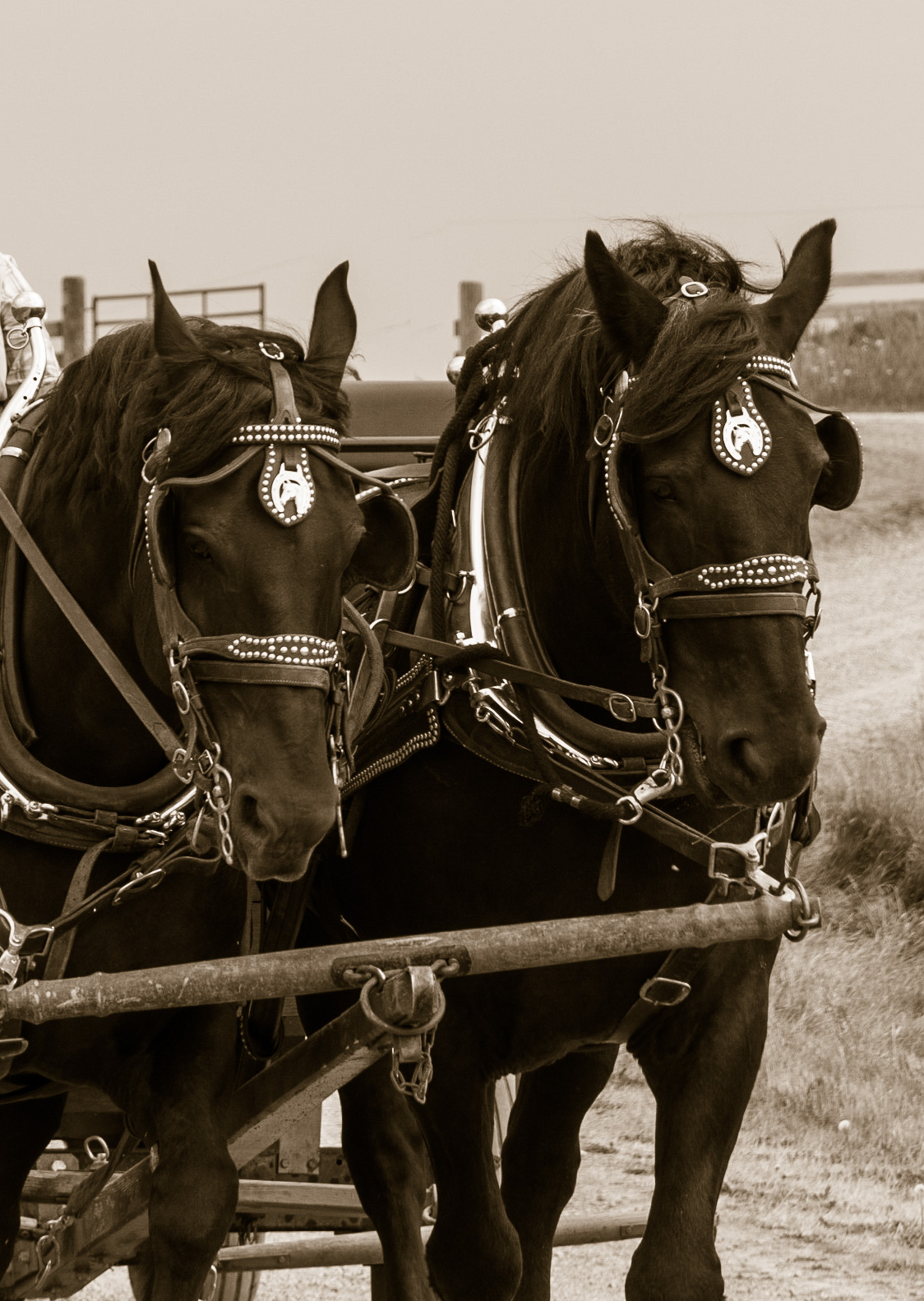 Draft horses at the Bar U Ranch, Alberta