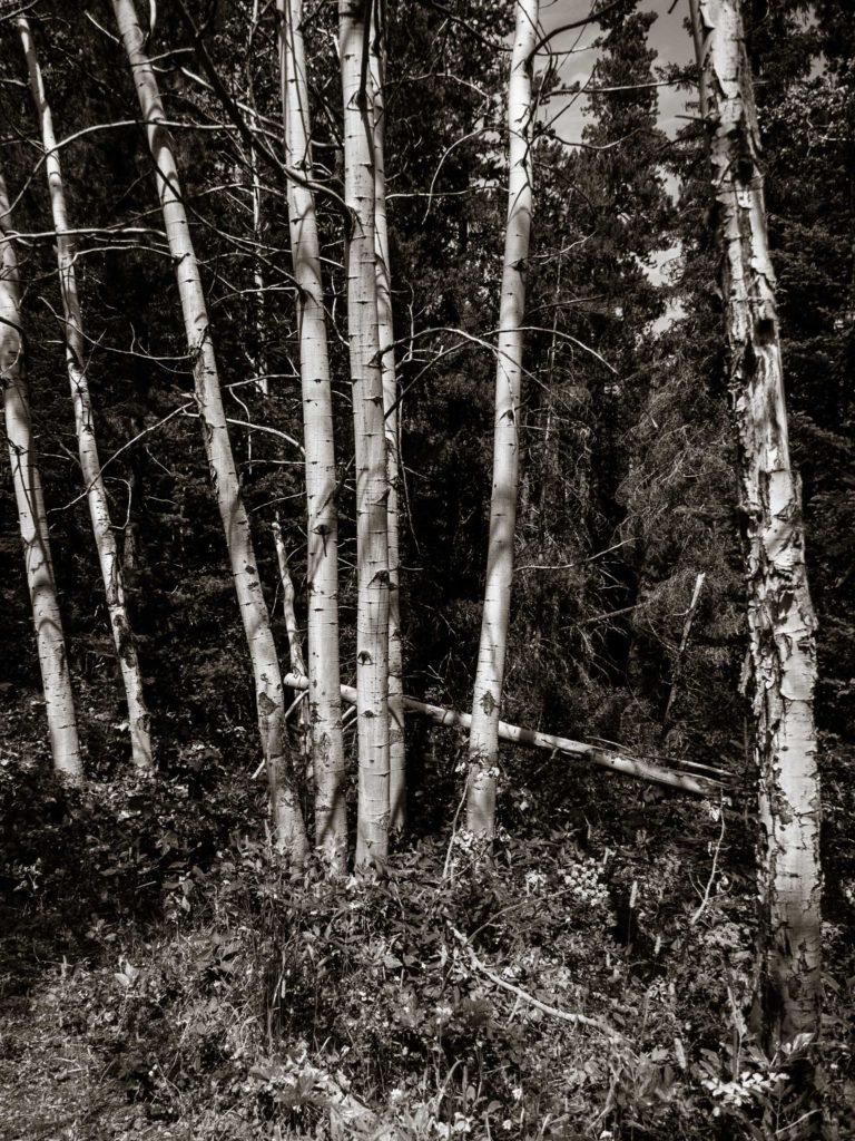 Silver Birches (335)