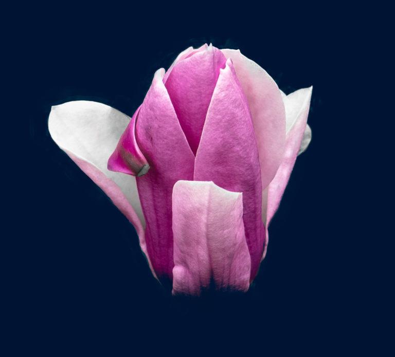 Magnolia (0424)