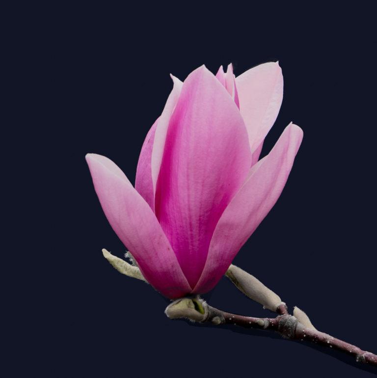 Magnolia (0425)