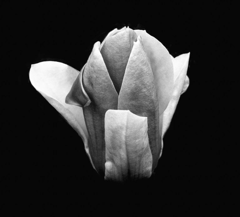 Magnolia B&W (424)