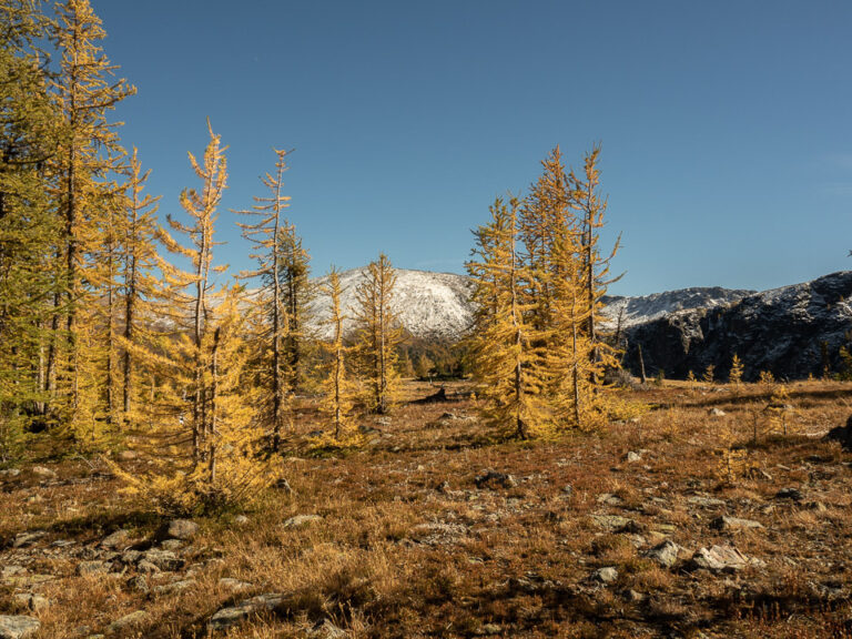 Larches and snow at Cathedral Lakes