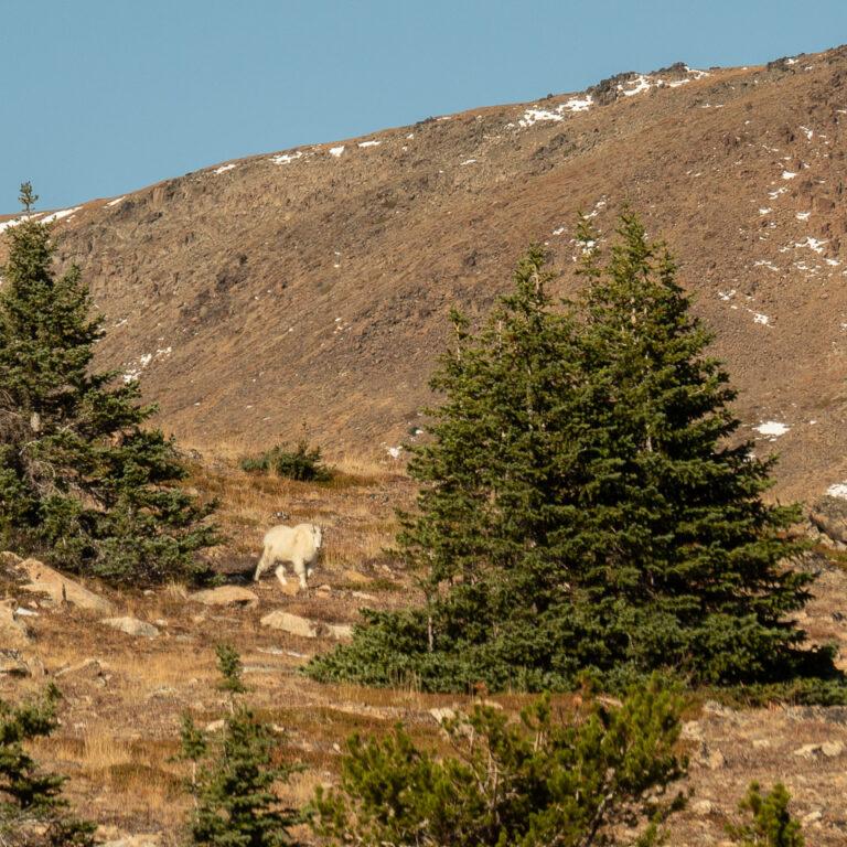 Mountain goat approaching!
