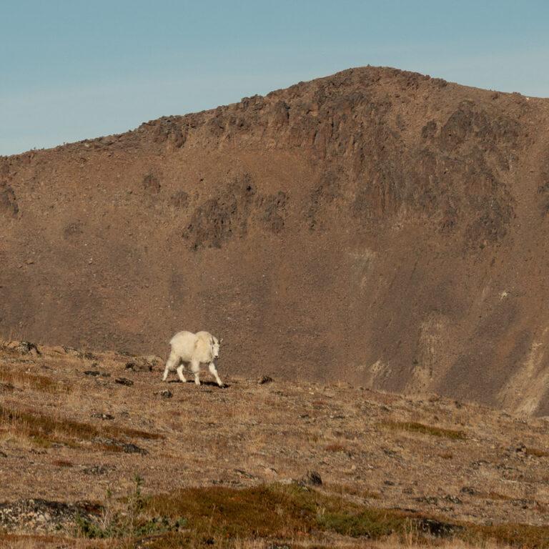 Mountain goat – coming nearer!