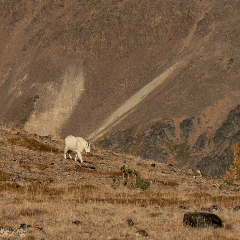 Mountain goat – almost on us