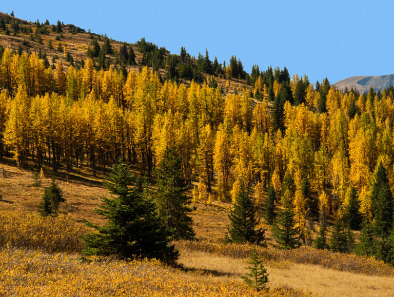 Larches on Scout Mountain