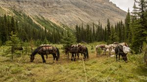Pack Horses At Camp (043)