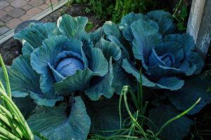 Cabbages (152)