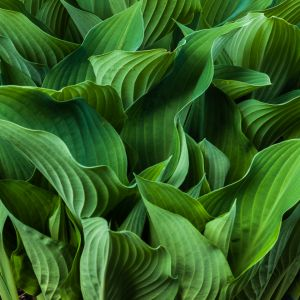 Hosta Leaves (1479)